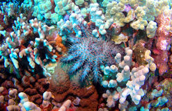 Crown of Thorns Starfish Stock Photography