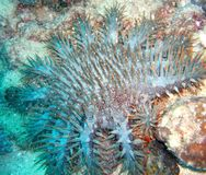 Crown of Thorns Starfish Royalty Free Stock Image