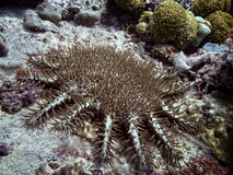 Crown-of-thorns starfish. The crown-of-thorns starfish, Acanthaster planci feeding on sea bottom around Silhouette island. Seychelles Royalty Free Stock Photos