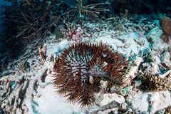 Crown-of-Thorns Starfish. A Crown-of-Thorns starfish (Acanthaster planci) feeds on coral in a remote part of the Solomon Islands. This area is the easternmost Stock Photography