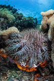 Crown of Thorns Starfish Stock Image