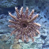 Crown-of-thorns starfish (Acanthaster planci) Royalty Free Stock Photos