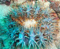 Crown of Thorns Starfish Blur. Upside down Crown of Thorns starfish (Acanthaster planci Stock Image