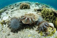 Crown of Thorns Starfish Feeding on Corals. Crown of Thorns starfish, Acanthaster planci, feed on living corals in Wakatobi National Park, Indonesia. When found Royalty Free Stock Image