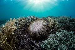 Crown of Thorns Starfish Feeding on Corals. A Crown of Thorns starfish, Acanthaster planci, feeds on living corals near Flores, Indonesia. This remote, tropical Stock Image