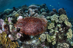 Crown of Thorns Starfish Feeding on Corals. A Crown of Thorns starfish (Acanthaster planci) feeds on corals in the Solomon Islands Royalty Free Stock Image