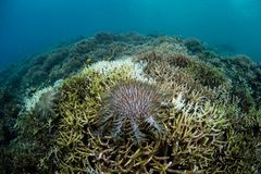 Crown of Thorns Starfish Feeding on Corals. A Crown of Thorns starfish, Acanthaster planci, feeds on living corals near Flores, Indonesia. This remote, tropical Royalty Free Stock Image