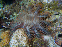 Crown-of-thorns starfish. The never-popular crown-of-thorns starfish eating its way through the reef Stock Photo