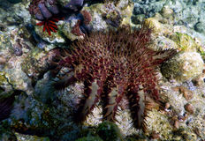 Crown of Thorns Starfish Royalty Free Stock Images