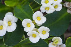 Crown of thorns white flowers Royalty Free Stock Photography