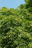 Crown top of Chestnut tree Royalty Free Stock Image