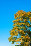 The crown of the tree with yellow leaves. Crown of a tree with bright yellow leaves against the blue sky Stock Photography
