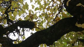 Crown of tree with curved branches. Of autumn winter stock footage