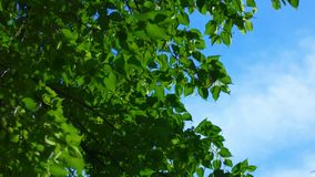 Crown of tree, leaves fluttering on wind with bright afternoon sky, copyspace stock video