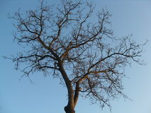Crown of the tree without leaves. Wood Royalty Free Stock Image