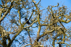 Crown of a Tree in Winter with a Crow Royalty Free Stock Image