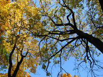 Crown of a trees. Autumn, yellow crown of a trees Stock Images