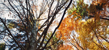Crown of trees in autumn Stock Photography