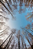 Crown of trees with clear blue sky Royalty Free Stock Photo