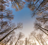 Crown of trees with clear blue sky Stock Images