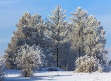 Crown of trees covered with winter frost, against the blue sky Royalty Free Stock Image