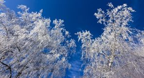 Crown of trees covered with winter frost, against the blue sky Royalty Free Stock Photography