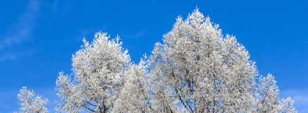 Crown of trees covered with winter frost, against the blue sky Stock Images