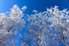 Crown of trees covered with winter frost, against the blue sky Stock Photo