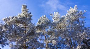 Crown of trees covered with winter frost, against the blue sky Stock Photos