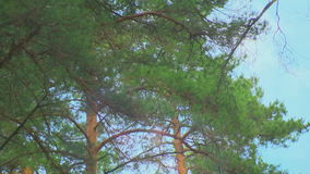 Crown of trees in the pine forest. Wind stock footage
