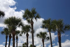Crown of the trees. Wild beauty of the exotic Florida nature Stock Photography