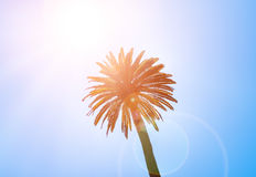 Crown of the tropical palm tree Royalty Free Stock Photography