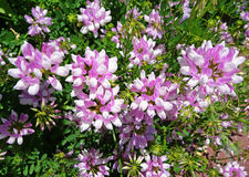 Crown vetch (Coronilla varias) Royalty Free Stock Photo