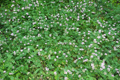 Crown Vetch Meadow Royalty Free Stock Images