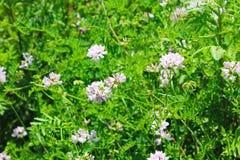 Crown Vetch (Securigera varia or Coronilla varia) Stock Images