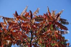 Crown of vinegar tree against blue sky in autumn Stock Image