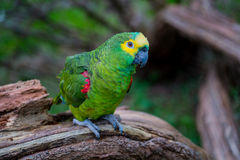 Crowned Amazon parrot Stock Photo