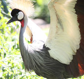 Crowned Crane. Balearica regulorum - South Africa Royalty Free Stock Image