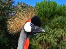 Crowned crane. Isolated in the park Royalty Free Stock Image