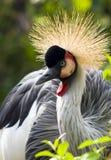Crowned Crane Stock Photos