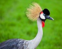 Crowned Crane Royalty Free Stock Image