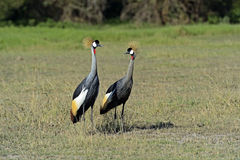 Free Crowned Crane Stock Images - 38667074