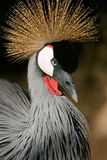 Crowned Crane Stock Images