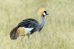 Crowned crane. African savannah summer in high grass Royalty Free Stock Images