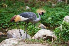 Crowned Crane Balearica pavonina. Chiag Mai, Thailand royalty free stock photography