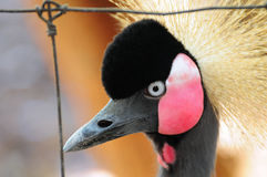 Crowned Crane Bird Royalty Free Stock Photo
