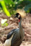 Crowned crane bird Stock Photography