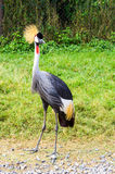 Crowned Crane Bird Stock Photo
