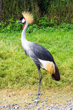 Crowned Crane Bird Stock Image
