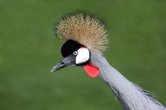 Crowned Crane Bird Stock Images